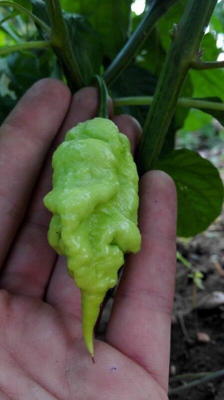 Peperoncino Jay's Ghost Scorpion Peach verde sul palmo di una mano