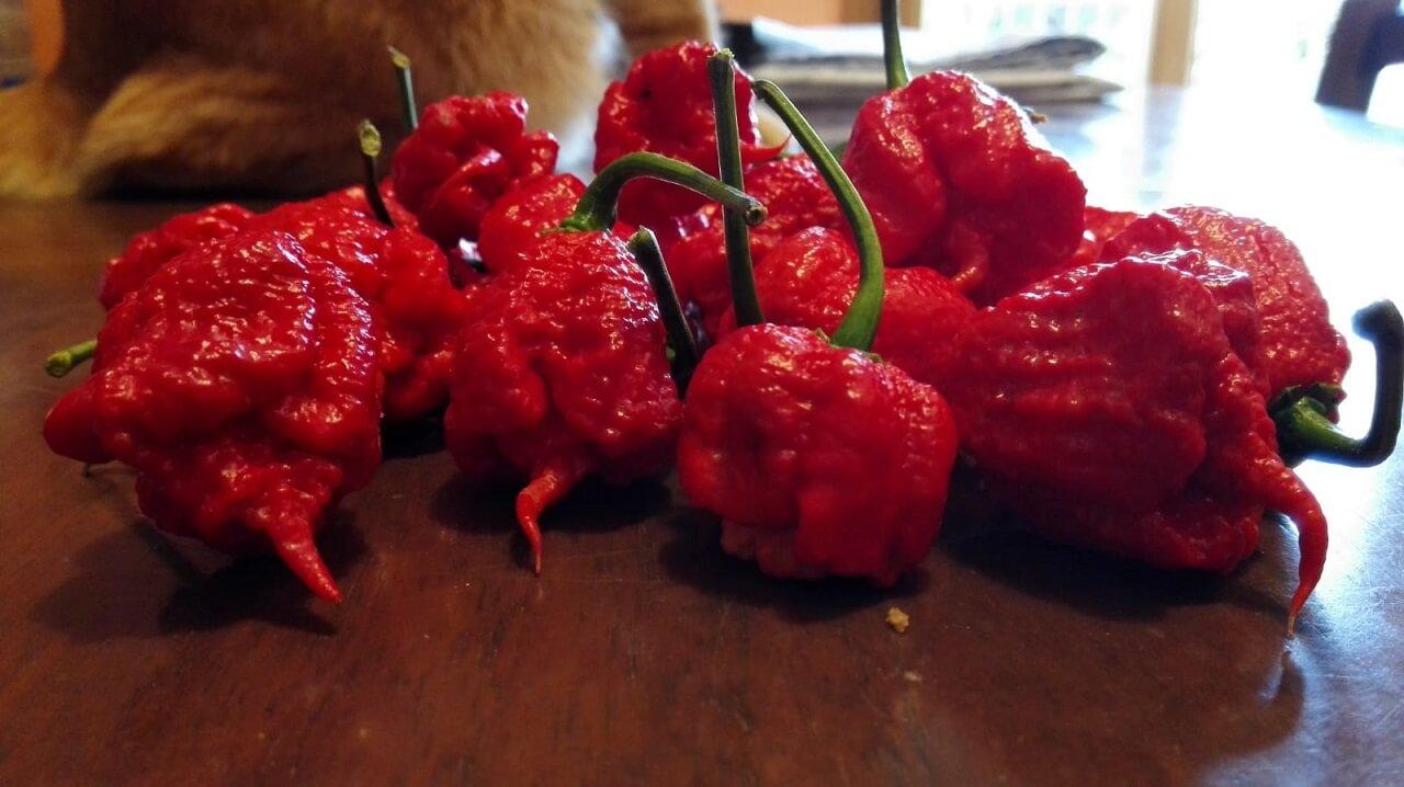 Peperoncino Carolina Reaper coltivato in casa. Il peperoncino più piccante al mondo