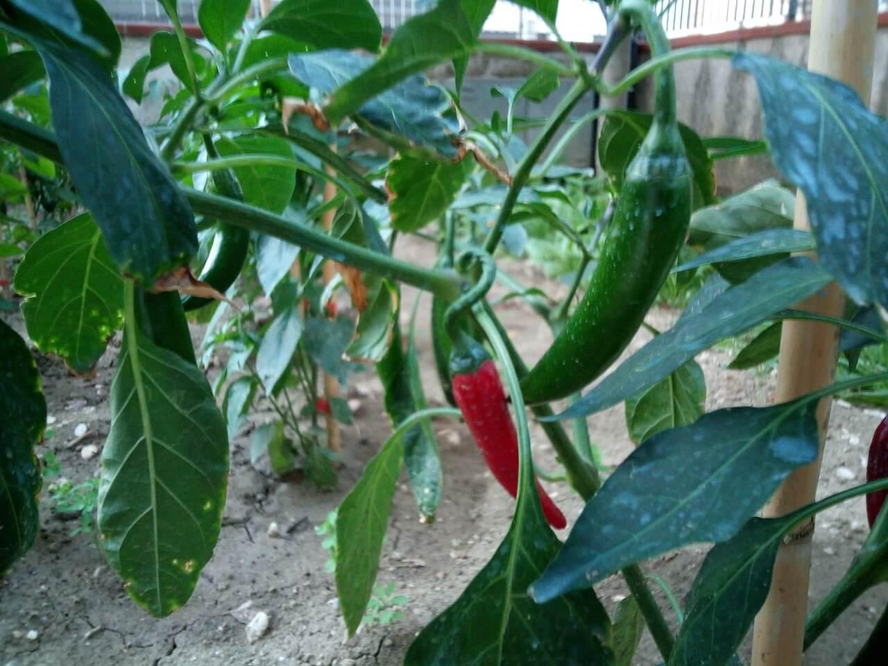 Peperoncino di Cayenna, Capsicum annuum acuminatum ancora in coltivazione