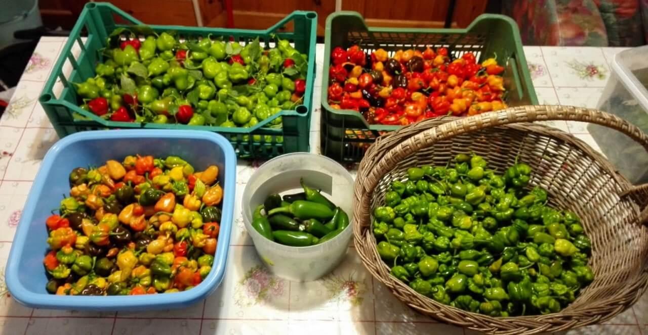 Peperoncino, raccolto di fine stagione: Bishop Crown, Jalapeno, Trinidad, Carolina, Habanero, Pimenta de Neyde